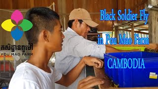 Black Soldier Fly in Pou Mao Farm CAMBODIA  part 2