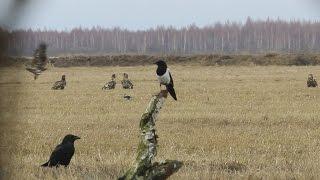 Minute in the life of eagles - минутка из жизни орлана - wildlife