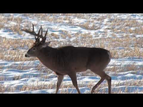 White Tail Deer Hunting | Canada | Michitoba Outfitting