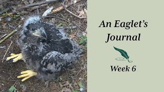 AEF DW Eagle Cam:  An Eaglet's Journal - Week 6