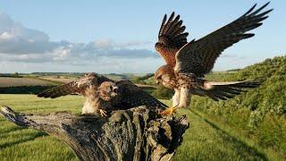 Kestrel pair bringing up chicks against all odds!