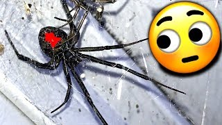 Redback Spiders Major Infestation Study Local Gym EDUCATIONAL VIDEO