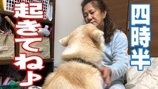 秋田犬 朝四時半です起きて下さい大変ですシェパード犬散歩Akita Inu