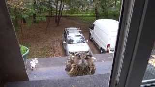 Yolka the eagle owl trying to go inside. Attempt #1.