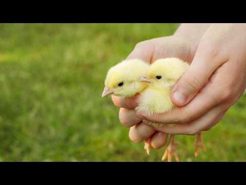 Abbeveratoi per allevamenti avicoli
