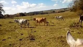 Bovino Corte Tabapuã Vaca - e-rural Imagens
