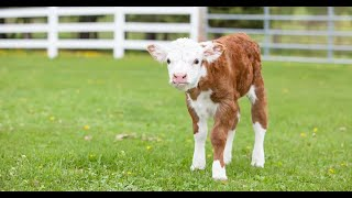 Babies and baby Cow become friends Funny Babies and Pets Compilation (2021)
