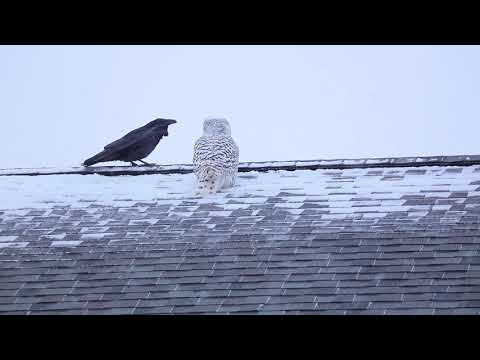 An Owl and a Raven Play on a Roof