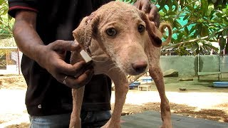 Healing sweetest puppy stricken with mange