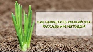 Как вырастить ранний лук  рассадным методом