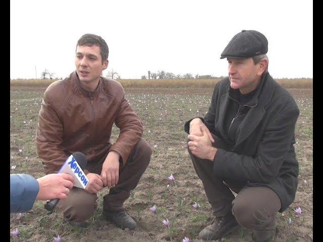 Истории успеха: Как фермеры из Херсона выращивают шафран