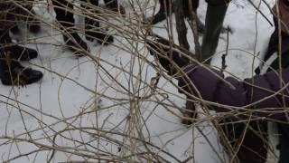 hmongbuy.net - A Marin Constantin taierea arbustilor goji de anul 2