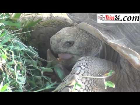 (Vidéo) Kémtane : Découvrez les tortues qui ont été élevées par Mame Dabakh !