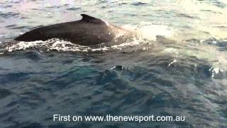One of the most incredible whale encounters you'll witness. Four humpback whales investigate a boat on the Great Barrier Reef off Port Douglas. From NewsportTV