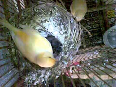 Video Cara beternak burung pipit dan kenari