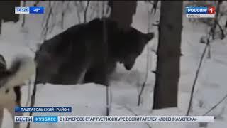В Кузбассе застрелили опасного медведя
