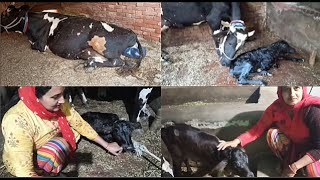 Cow Giving Birth - First Time Milking After Cow Delivery -  Village Life