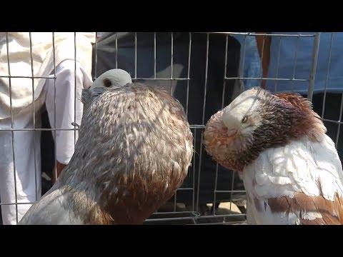 Pouter pigeon price in Bangladesh | পোটার কবুতর | fancy