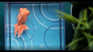 電池なしで泳いでくれるカラクリ金魚出目金レビュー!