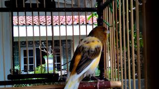 KENARI AF NGERIWIK GACOR   WARNA BON KUNING  ( CANARY SINGING )