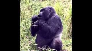 preview picture of video 'Silverback gorilla in Volcanoes National Park.'