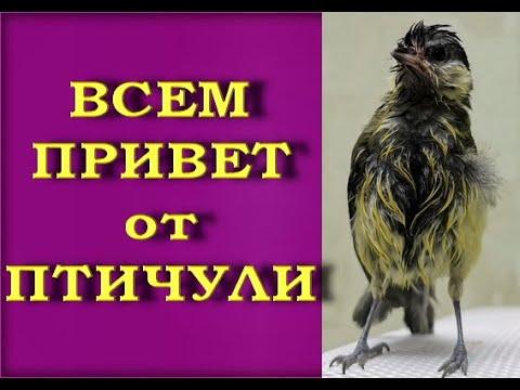 ПТЕНЕЦ СИНИЦЫ:сегодня ТРИ МЕСЯЦА,как он - в нашей СЕМЬЕ!Птичья Личность,он же - ПТИЧУЛЯ!