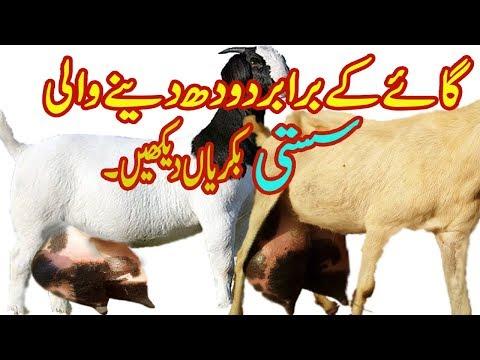 Download Goat Fesibilti Report In Pakistan Video 3GP Mp4 FLV HD Mp3