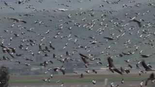 """ראיתי להקות של ציפורים (אלפים), במרחק ס""""מ אחת מהשנייה , כולם טסים ..."""