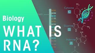 What is RNA | Genetics | Biology | FuseSchool