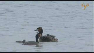 preview picture of video 'Чомга (Большая поганка) в Кусково / Great-crested grebe at Kouskovo'