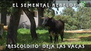 Toro Semental Rebelde De Reservatauro Deja Las Vacas | Toros Desde Andalucía