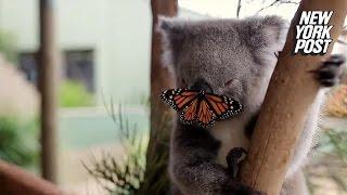 This butterfly crashing a koala bear's video shoot is cuteness overload