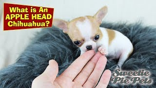 Apple Head Chihuahua Vs Deer Head - Whats The Difference? | Sweetie Pie Pets By Kelly Swift