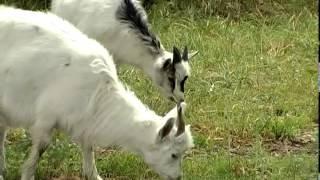 Смотреть онлайн Выращивание коз в домашних условиях