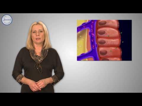 Органы пищеварения: желудок, тонкий кишечник, толстый кишечник