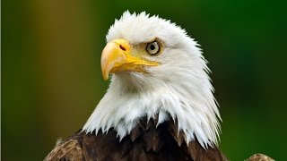 Amazing Facts About Bald Eagles