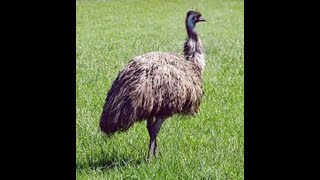 Close Up Of Emu - Second Largest Living Bird