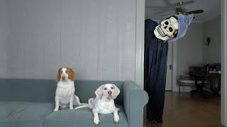 Dogs Chase Giant Grim Reaper Out of the House! Funny Dogs Maymo & Potpie vs Skeleton Prank Surprise