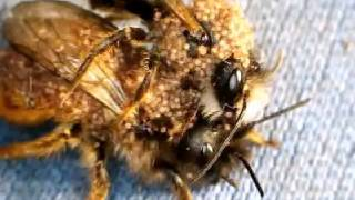 Sexually Transmitted Infection in Red Mason Bees, Osmia rufa.  Mite infestation of bees.