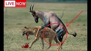 Live: National Geographic Animals, Animal Documentary BBC 2018, Hyenas attack Lions...