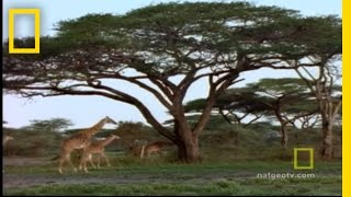 Giraffe Capture | National Geographic thumbnail