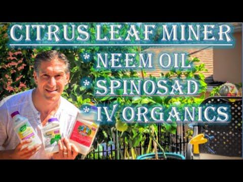 Citrus Leaf Minor | Organic Choices: (1) Neem Oil (2) Spinosad (3) IV Organic