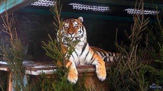 Ленинградский зоопарк. Амурский тигр (2018)