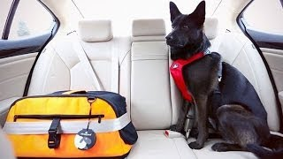 Dog Safety/Seatbelts for Dogs: A How-To