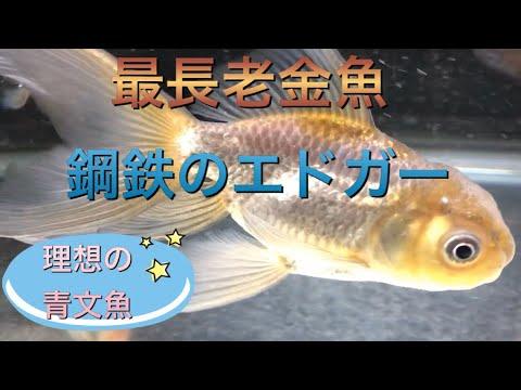 【金魚長生き】焼津金魚センターの青文魚、鋼鉄のエドガー