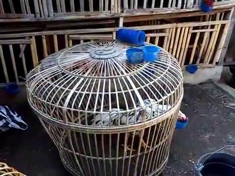 Video Cara Ternak Ayam Bangkok Aduan dengan Benar./how chickens Bangkok complaint