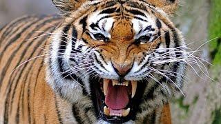 Эмоции тигра - tiger emotions!!!