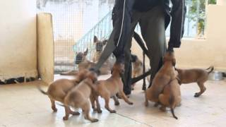 Dressage chein tunisie//A vendre chiots berger malinois