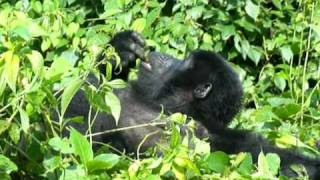 preview picture of video 'Gorily v Bwindi NP, Uganda'