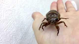 アブラゼミの幼虫がいた